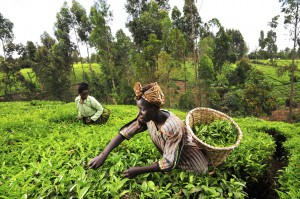 tea_kenya_farm_creditciat_flickr